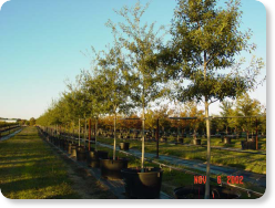 Mexican Red Oak