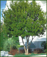 Southern Waxmyrtle